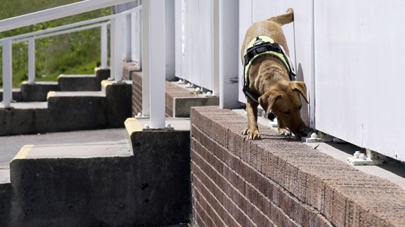 Drug detection sniffer dog